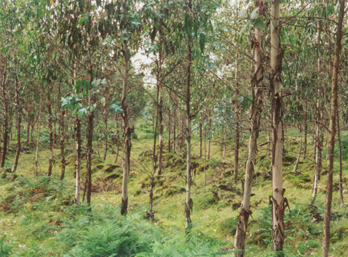 B-The high density planting of eucalyptus for large-scale biomass production used in the rehabilitation of a mine.